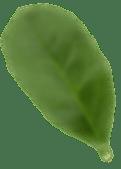 leafs back